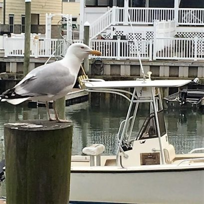 Sea Gull from the dock